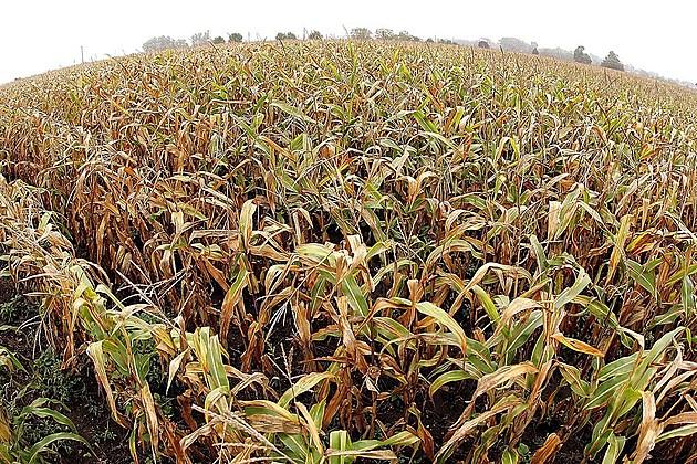 U.S. Corn And Soybean Crop
