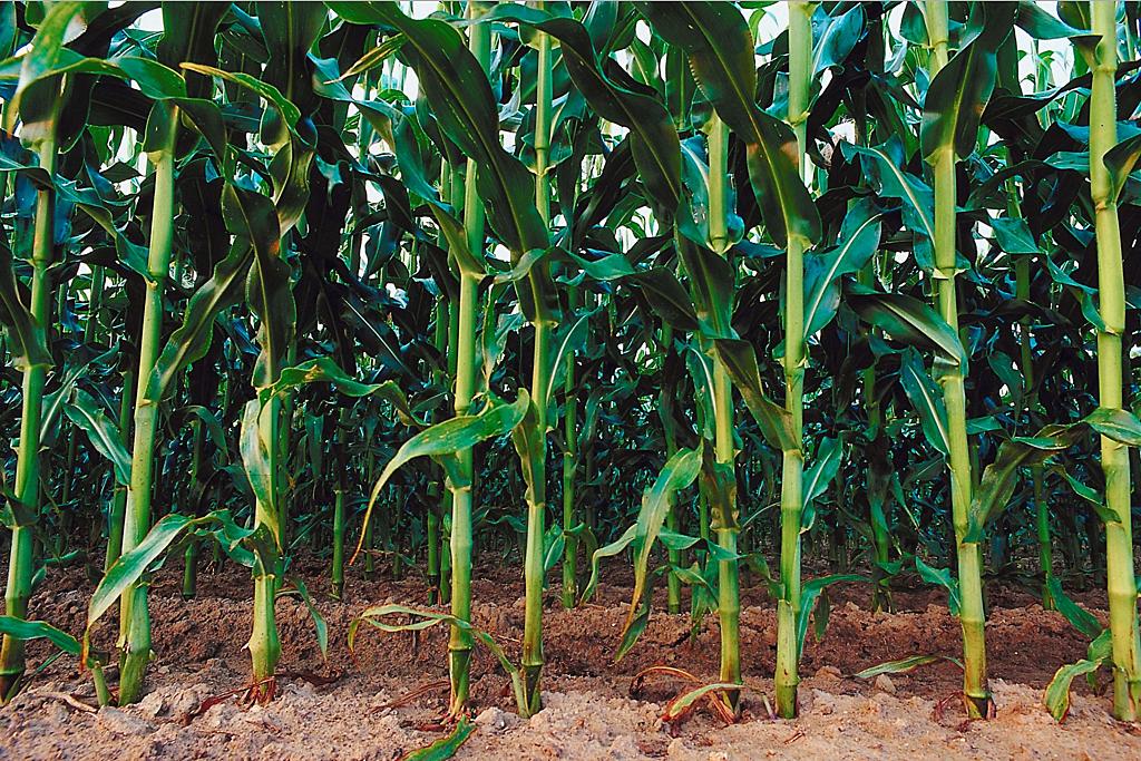 farm_cornfield_clipart